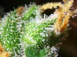 Foto einer Cannabisblüte von Nahem