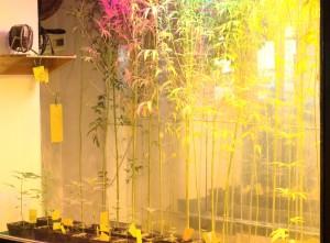 Hanfpflanzen beim Wachsen