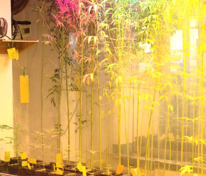 Hanf beim Wachsen in der Pflanzenvitrine / Hemp plants growing